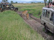 Lions are not paying attention to visitors