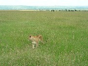 Lioness in search for food