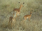 Antelope with cubs